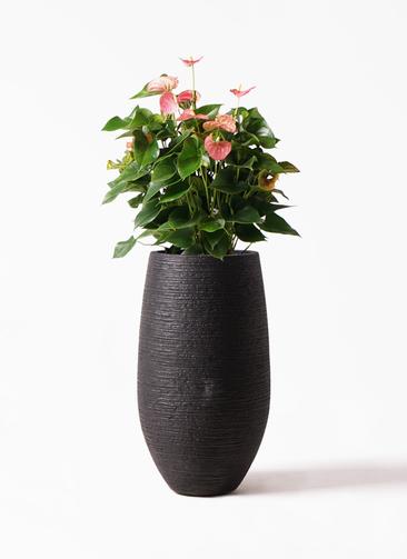 観葉植物 アンスリウム 8号 ピンクチャンピオン フォンティーヌトール 黒 付き