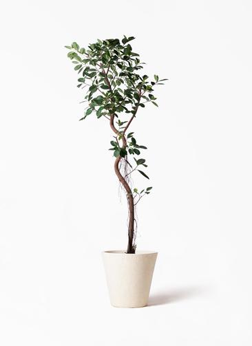 観葉植物 フィカス ジャンボリーフ 10号 フォリオソリッド クリーム 付き