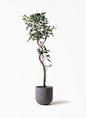 観葉植物 フィカス ジャンボリーフ 10号 カルディナダークグレイ 付き