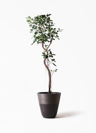観葉植物 フィカス ジャンボリーフ 10号 ジュピター 黒 付き