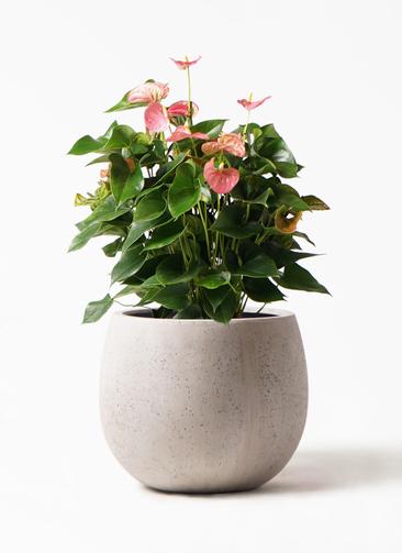 観葉植物 アンスリウム 8号 ピンクチャンピオン テラニアス ローバルーン アンティークホワイト 付き