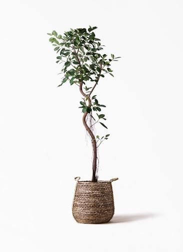 観葉植物 フィカス ジャンボリーフ 10号 リゲル 茶 付き
