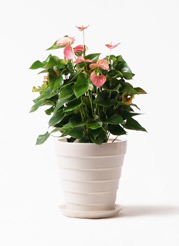 観葉植物 アンスリウム 8号 ピンクチャンピオン サバトリア 白 付き