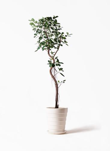 観葉植物 フィカス ジャンボリーフ 10号 サバトリア 白 付き
