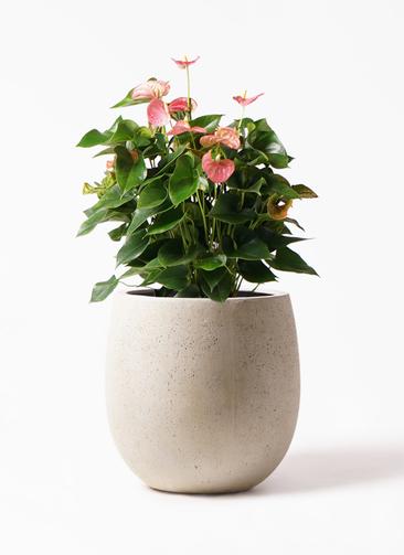 観葉植物 アンスリウム 8号 ピンクチャンピオン テラニアス バルーン アンティークホワイト 付き