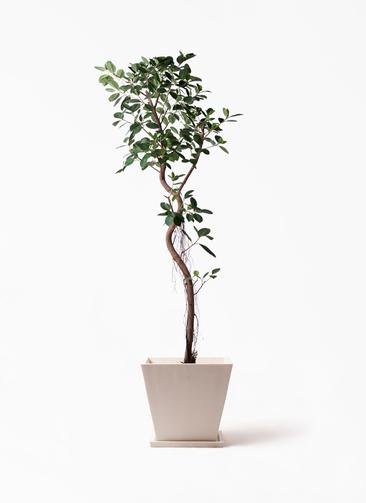 観葉植物 フィカス ジャンボリーフ 10号 パウダーストーン 白 付き