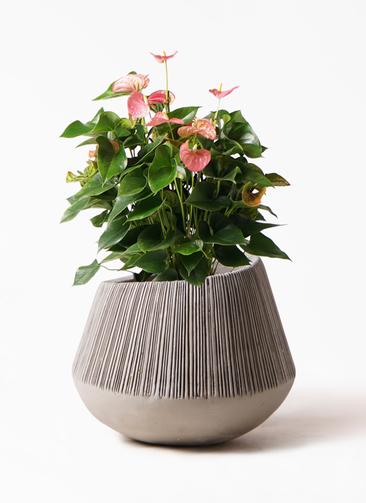 観葉植物 アンスリウム 8号 ピンクチャンピオン エディラウンド グレイ 付き