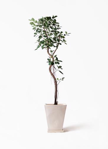観葉植物 フィカス ジャンボリーフ 10号 スクエアハット 白 付き