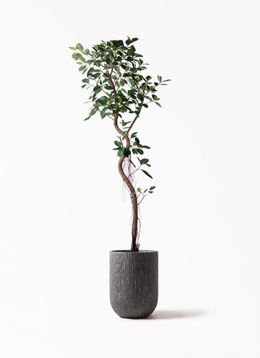 観葉植物 フィカス ジャンボリーフ 10号 カルディナトールダークグレイ 付き