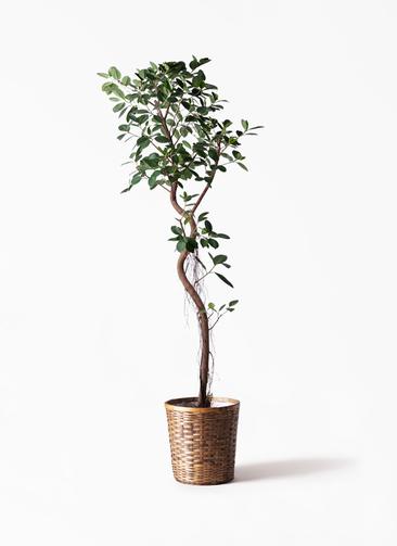 観葉植物 フィカス ジャンボリーフ 10号 竹バスケット 付き