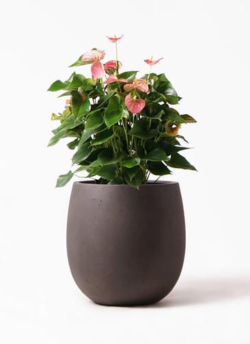 観葉植物 アンスリウム 8号 ピンクチャンピオン テラニアス バルーン アンティークブラウン 付き