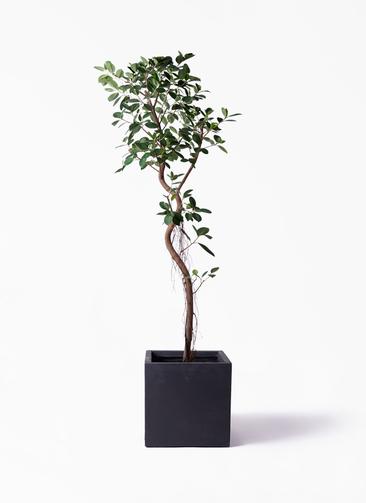 観葉植物 フィカス ジャンボリーフ 10号 ベータ キューブプランター 黒 付き