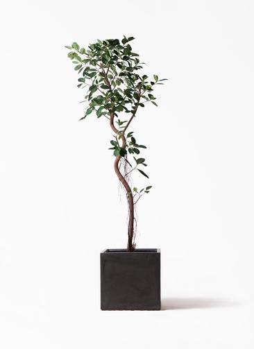 観葉植物 フィカス ジャンボリーフ 10号 ファイバークレイ 付き