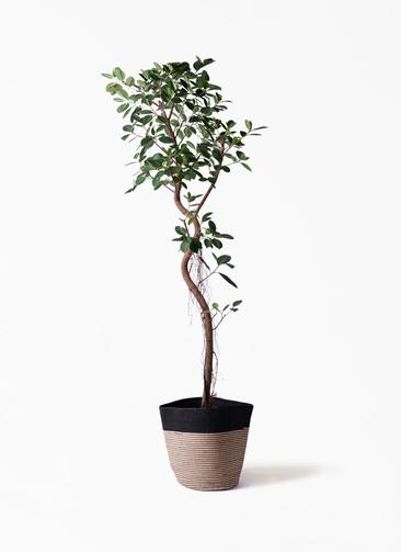観葉植物 フィカス ジャンボリーフ 10号 リブバスケットNatural and Black 付き