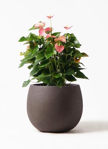 観葉植物 アンスリウム 8号 ピンクチャンピオン テラニアス ローバルーン アンティークブラウン 付き