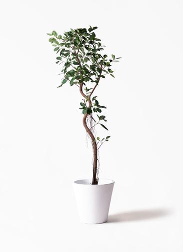 観葉植物 フィカス ジャンボリーフ 10号 フォリオソリッド 白 付き