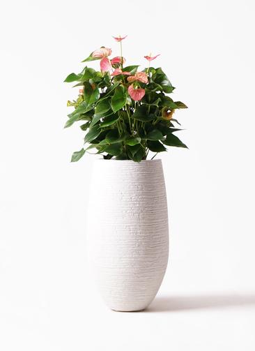 観葉植物 アンスリウム 8号 ピンクチャンピオン フォンティーヌトール 白 付き