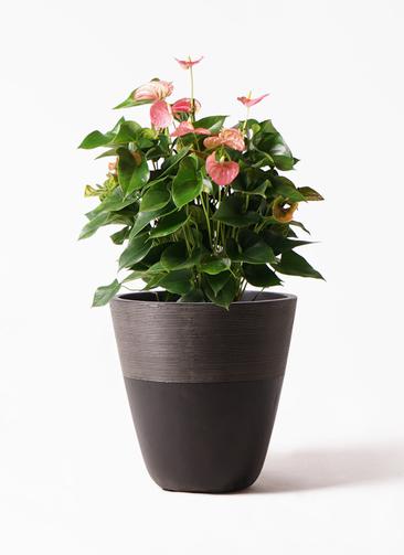 観葉植物 アンスリウム 8号 ピンクチャンピオン ジュピター 黒 付き