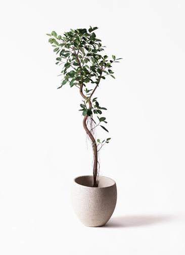観葉植物 フィカス ジャンボリーフ 10号 エコストーンLight Gray 付き