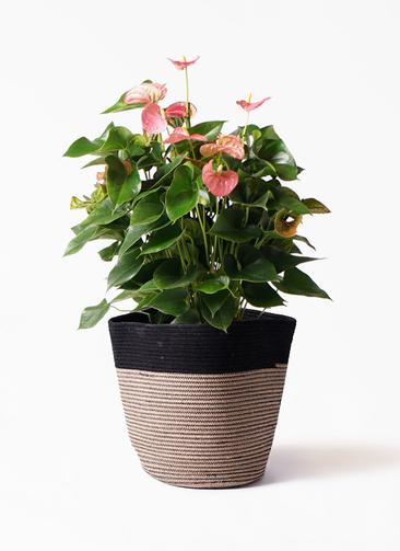 観葉植物 アンスリウム 8号 ピンクチャンピオン リブバスケットNatural and Black 付き