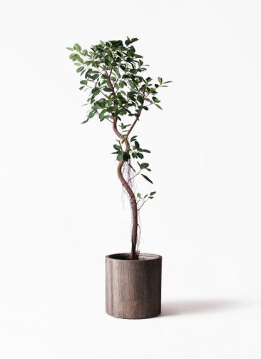 観葉植物 フィカス ジャンボリーフ 10号 アルファシリンダープランター 付き