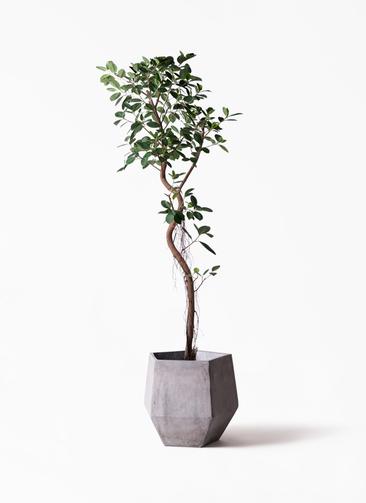 観葉植物 フィカス ジャンボリーフ 10号 ファイバークレイGray 付き