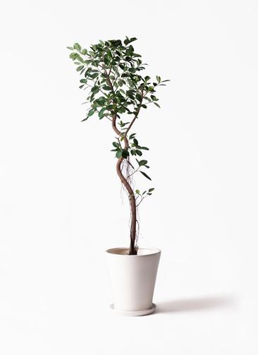 観葉植物 フィカス ジャンボリーフ 10号 サブリナ 白 付き