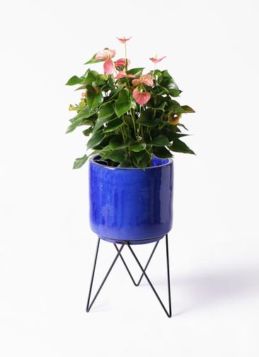観葉植物 アンスリウム 8号 ピンクチャンピオン ビトロ エンデカ 鉢カバースタンド付 ブルー 付き