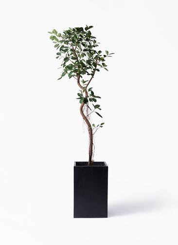 観葉植物 フィカス ジャンボリーフ 10号 セドナロング 墨 付き