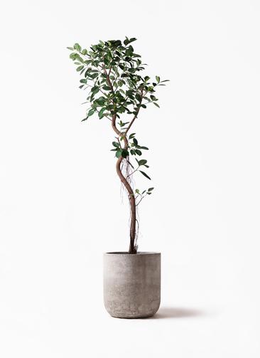 観葉植物 フィカス ジャンボリーフ 10号 エルバ 白 付き