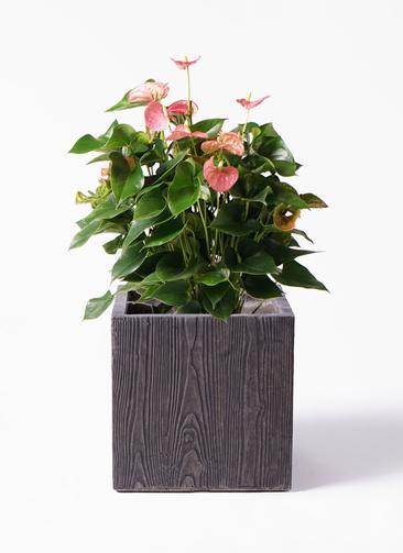観葉植物 アンスリウム 8号 ピンクチャンピオン ベータ キューブプランター ウッド 茶 付き