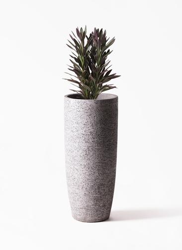 観葉植物 コルディリネ (コルジリネ) サンゴ 7号 エコストーントールタイプ Gray 付き
