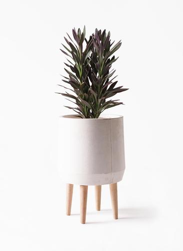観葉植物 コルディリネ (コルジリネ) サンゴ 7号 ファイバークレイ white 付き