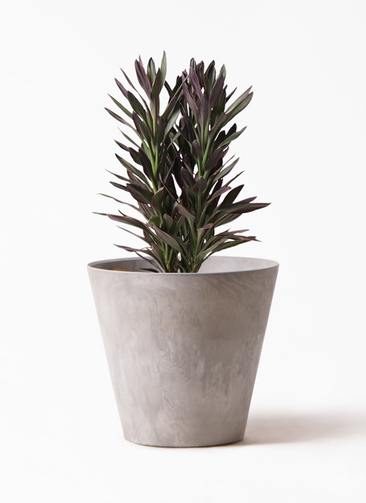 観葉植物 コルディリネ (コルジリネ) サンゴ 7号 アートストーン ラウンド グレー 付き