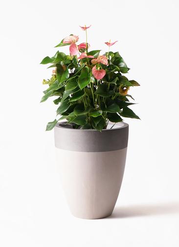 観葉植物 アンスリウム 8号 ピンクチャンピオン ファイバーストーンカプリ サンディホワイト 付き