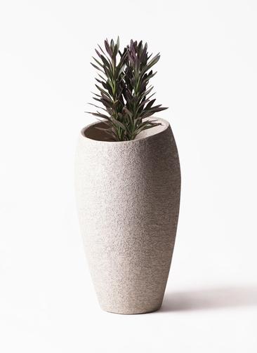 観葉植物 コルディリネ (コルジリネ) サンゴ 7号 エコストーントールタイプ Light Gray 付き