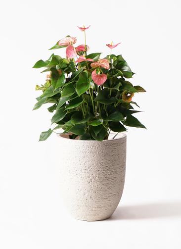 観葉植物 アンスリウム 8号 ピンクチャンピオン ビアスアルトエッグ 白 付き