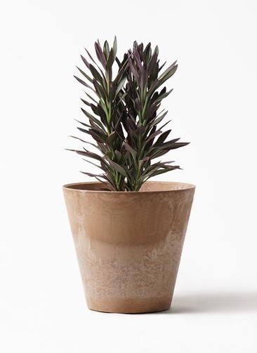 観葉植物 コルディリネ (コルジリネ) サンゴ 7号 アートストーン ラウンド ベージュ 付き
