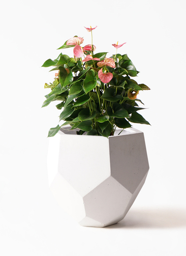 観葉植物 アンスリウム 8号 ピンクチャンピオン ポリゴヘクサ 白 付き