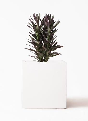 観葉植物 コルディリネ (コルジリネ) サンゴ 7号 バスク キューブ 付き