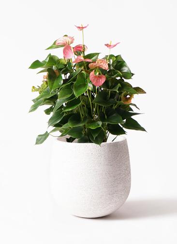 観葉植物 アンスリウム 8号 ピンクチャンピオン エコストーンwhite 付き
