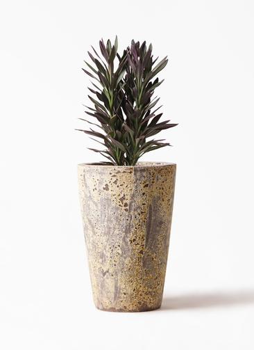 観葉植物 コルディリネ (コルジリネ) サンゴ 7号 アトランティス クルーシブル 付き