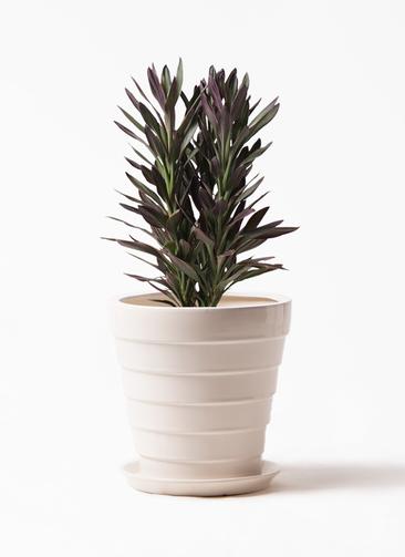 観葉植物 コルディリネ (コルジリネ) サンゴ 7号 サバトリア 白 付き