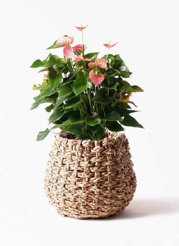 観葉植物 アンスリウム 8号 ピンクチャンピオン ラッシュバスケット Natural 付き
