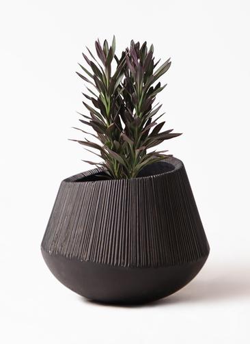 観葉植物 コルディリネ (コルジリネ) サンゴ 7号 エディラウンド 黒 付き
