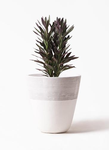 観葉植物 コルディリネ (コルジリネ) サンゴ 7号 ジュピター 白 付き