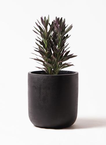 観葉植物 コルディリネ (コルジリネ) サンゴ 7号 エルバ 黒 付き
