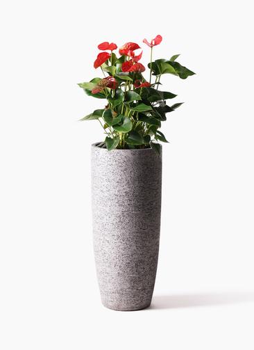 観葉植物 アンスリウム 8号 ダコタ エコストーントールタイプ Gray 付き
