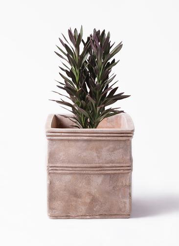 観葉植物 コルディリネ (コルジリネ) サンゴ 7号 テラアストラ カペラキュビ 赤茶色 付き