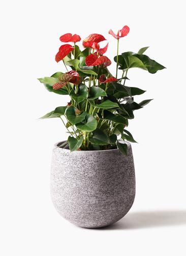 観葉植物 アンスリウム 8号 ダコタ エコストーンGray 付き